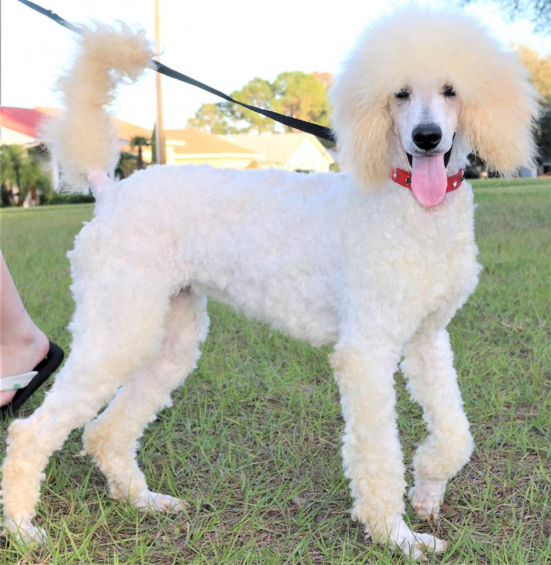white female standard poodle for sale in florida