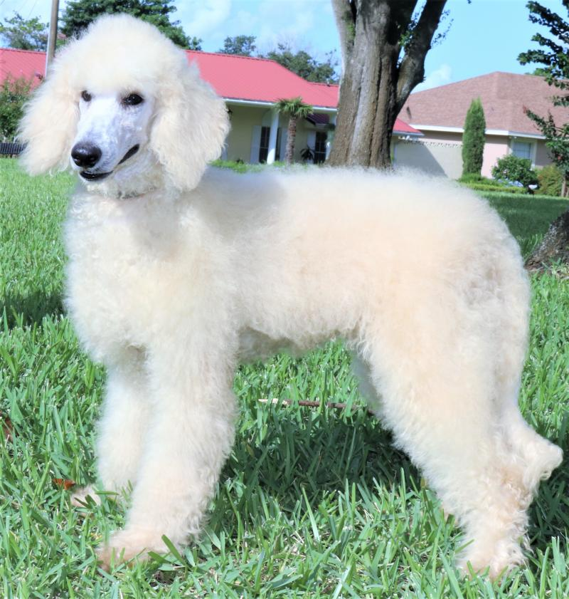 Female Standard Poodle For Sale In Florida Cream Apricot White Beige Tan