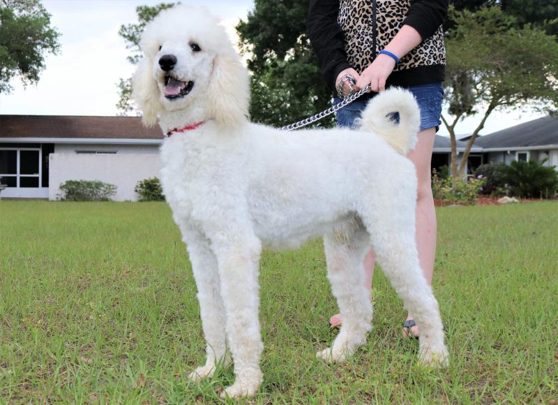 White Male Standard Poodle For Sale In Florida