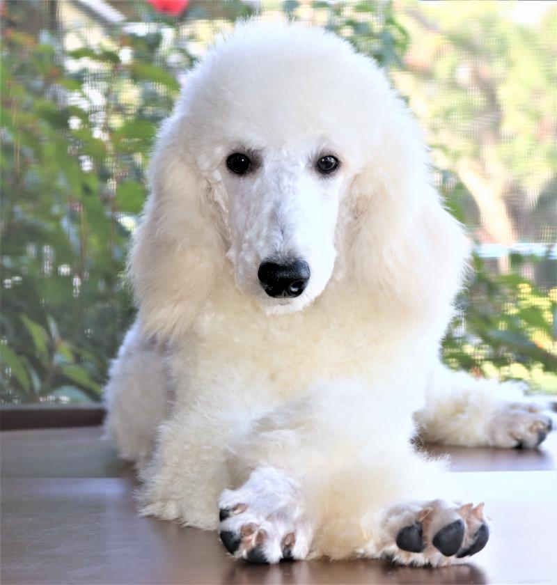 White Female Standard Poodle For Sale Adoption In Florida