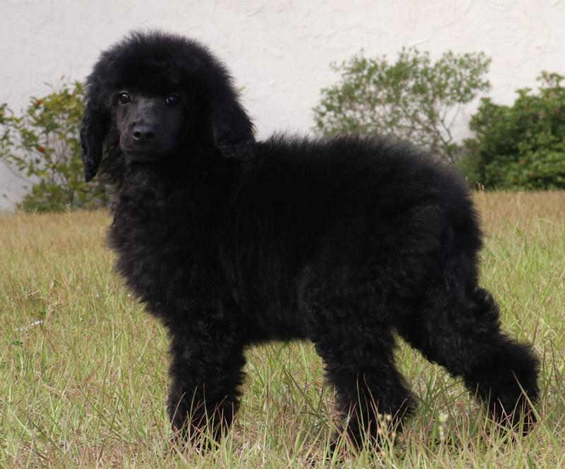 female akc standard poodle black blue silver for sale in florida family raised