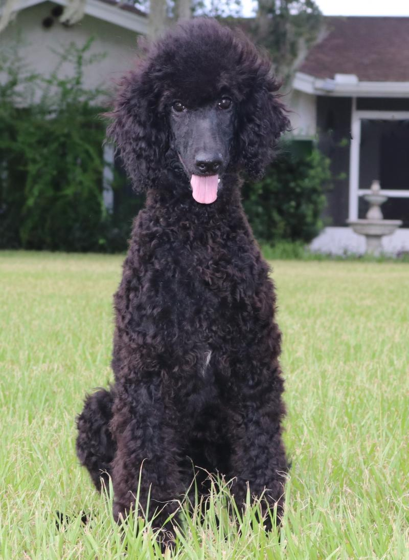 Black Female Standard Poodle For Sale In Florida