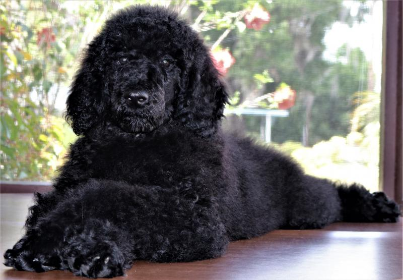 Black Male Standard Poodle For Sale In Florida