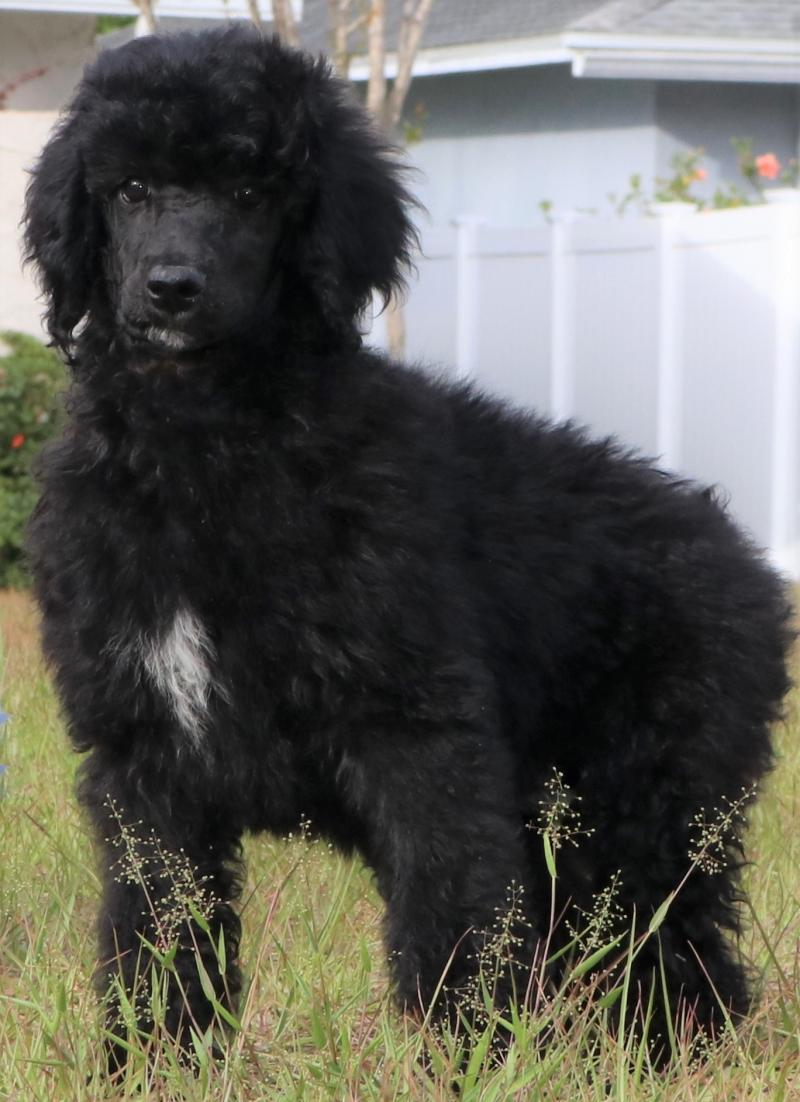 akc standard poodle male black blue silver for sale in florida family raised