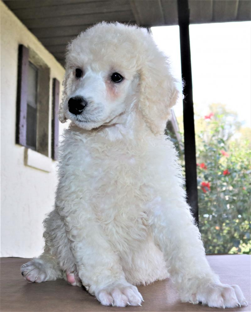 akc standard poodle male white cream for sale in florida family raised