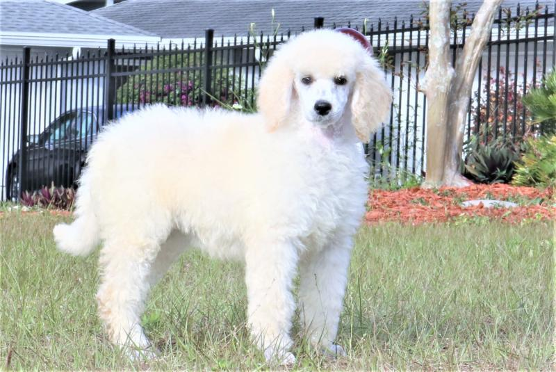 female akc standard poodle white cream for sale in florida family raised