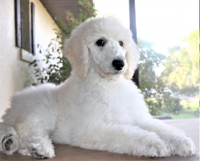 white akc standard poodle puppy for sale in florida family raised