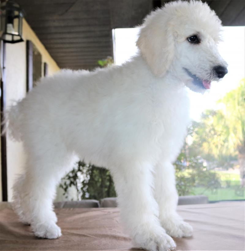 Female White AKC Standard Poodle Puppy For Sale In Florida Family Raised