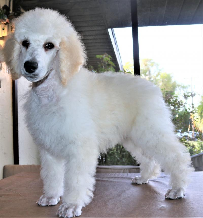 akc standard pooodle male white cream for sale in florida family raised