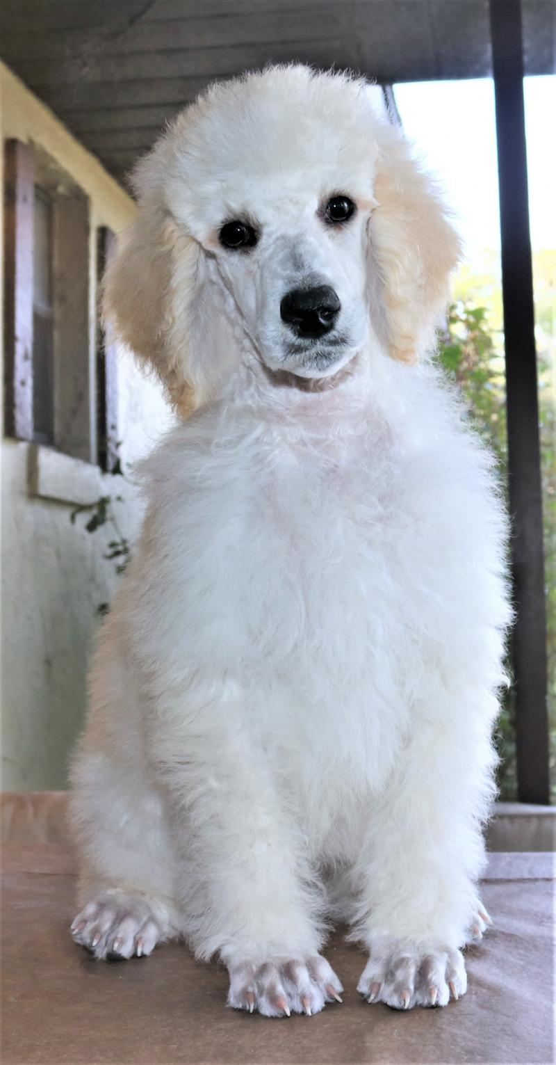 white cream male akc standard poodle puppy for sale in florida family raised