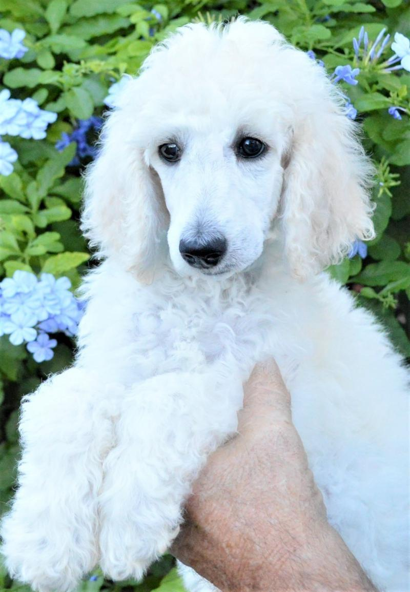 White Standard Poodle Puppy Female Genuine AKC Multiple Champion Lines