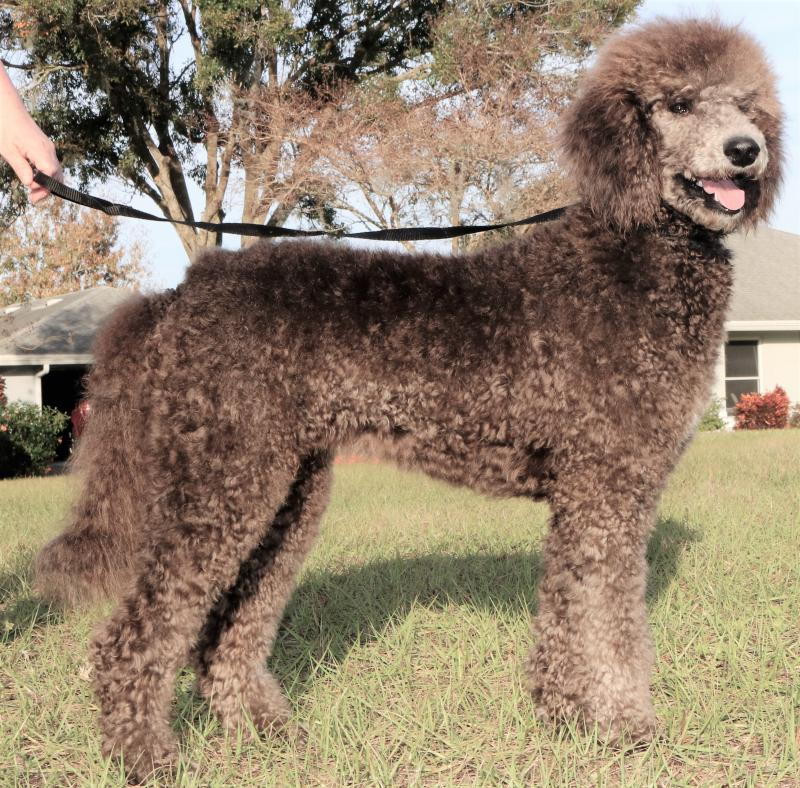 Silver Female Standard Poodle for sale in florida