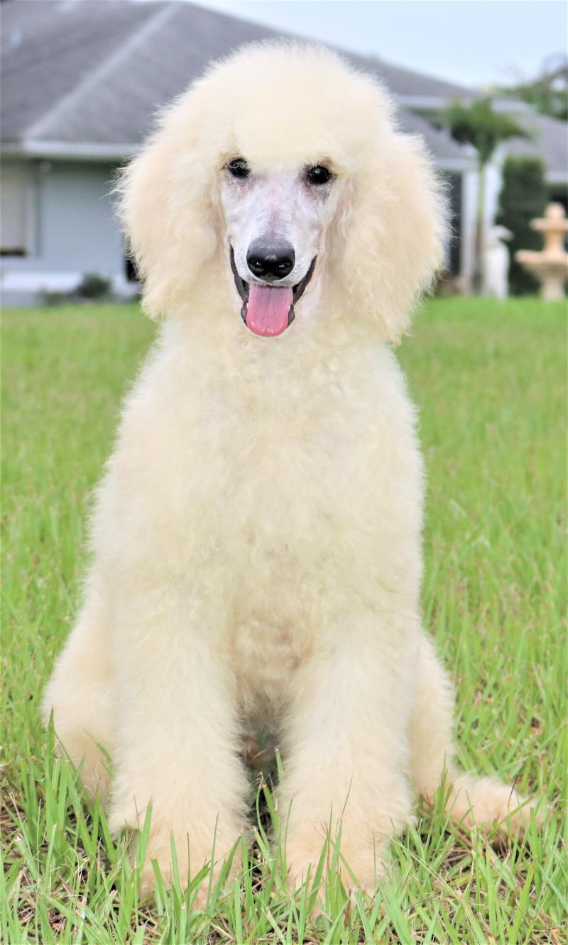 White Male AKC Standard Poodle For Sale Adoption In Florida