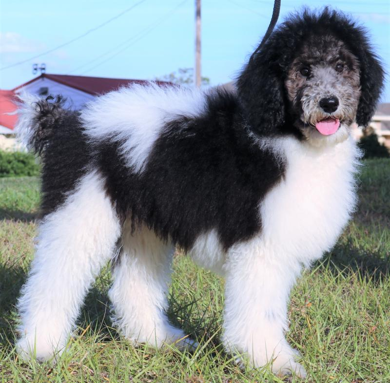 Parti Standard Poodle Female Puppy Genuine AKC Multiple Champion Lines