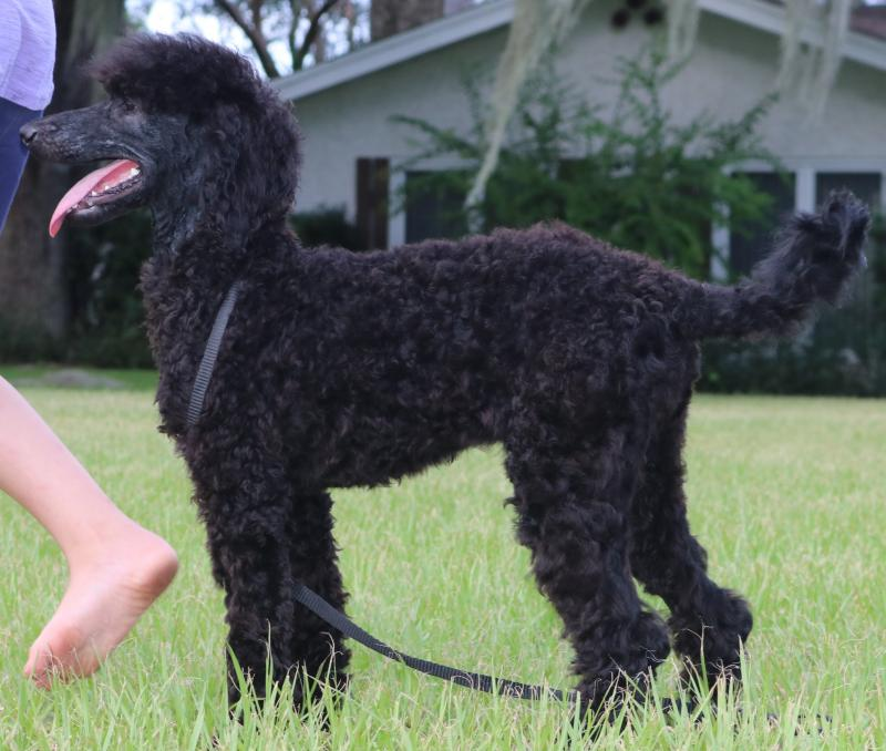 Black white female akc standard poodle for sale in florida